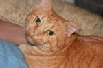 Orange-Tabby-Cat_Big-Cat_14052-480x320 by Robert and Mihaela Vicol