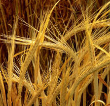 Grains and Bread in Abundance